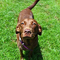Adopt A Pet :: Zola - Shreveport, LA