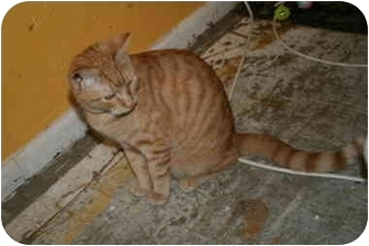 Domestic Shorthair Cat for adoption in tucson, Arizona - Freckles
