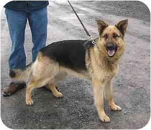 German Shepherd Dog Dog for adoption in Tully, New York - daphanie