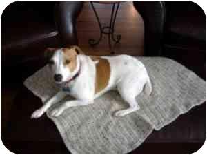 Jack Russell Terrier Dog for adoption in Omaha, Nebraska - Rudy