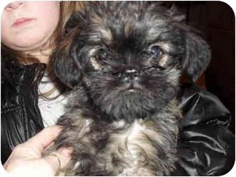 Brussels Griffon Puppy for adoption in SLC, Utah - estelle