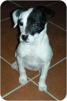 Beagle/Chihuahua Mix Puppy for adoption in North Kansas City, Missouri - Lucy--Pending