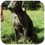 Photo 2 - Weimaraner Dog for adoption in Milton, Massachusetts - Rose