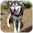 Photo 2 - Siberian Husky Mix Dog for adoption in Various Locations, Indiana - T-Bone