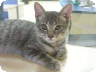 Domestic Shorthair Cat for adoption in Galveston, Texas - Doxey