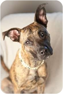 Plott Hound Mix Puppy for adoption in Nashville, Tennessee - Darla