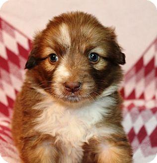 Collie Mix Puppy for adoption in Hainesville, Illinois - Judy