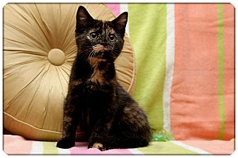 Domestic Shorthair Kitten for adoption in Sterling Heights, Michigan - Polly - ADOPTED!