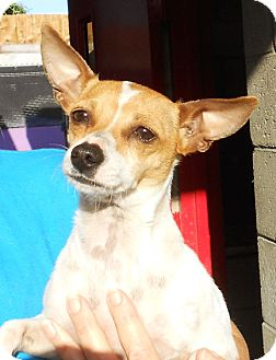 Rat Terrier/Chihuahua Mix Dog for adoption in El Segundo, California - Jackie