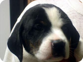 Labrador Retriever/Border Collie Mix Dog for adoption in Manassas, Virginia - Dopey
