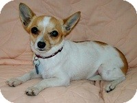 Chihuahua Mix Dog for adoption in AUSTIN, Texas - HEATHER