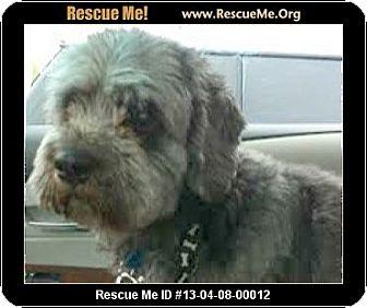 Schnauzer (Standard)/Poodle (Miniature) Mix Dog for adoption in Boulder, Colorado - Scrapper