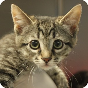 Domestic Shorthair Kitten for adoption in Naperville, Illinois - Pounce