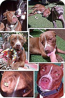 Mastiff/Greyhound Mix Dog for adoption in West Los Angeles, California - Sammie