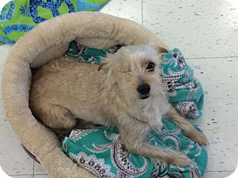 Silky Terrier/Westie, West Highland White Terrier Mix Dog for adoption in Brea, California - Twilla