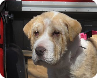 Shar Pei/Great Pyrenees Mix Puppy for adoption in Washington, D.C. - Chunky Monkey