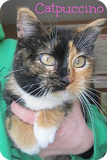 Calico Cat for adoption in Menomonie, Wisconsin - Catpuccino