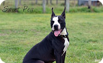 American Pit Bull Terrier/American Pit Bull Terrier Mix Dog for adoption in El Campo, Texas - Sweet Pea