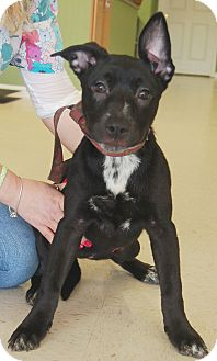 Terrier (Unknown Type, Medium) Mix Puppy for adoption in Hagerstown, Maryland - Licorice (Reduced Adoption Fee