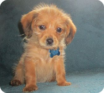 Dachshund Mix Puppy for adoption in Minneapolis, Minnesota - Gia
