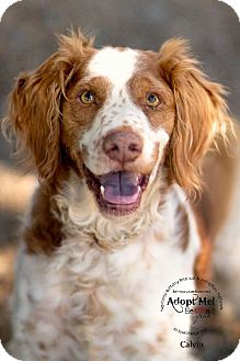 Brittany Dog for adoption in Dansville, New York - AZ/Calvin
