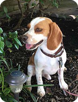 Beagle Dog for adoption in Houston, Texas - Roscoe-Roscoe P. Coltrane