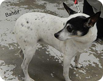 Rat Terrier Dog for adoption in Hibbing, Minnesota - Bandit
