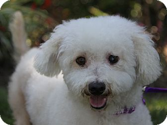 Bichon Frise Mix Dog for adoption in Newport Beach, California - MAYBELLE