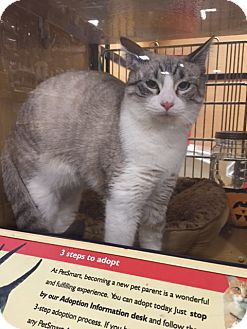 Domestic Shorthair Cat for adoption in Monroe, Georgia - Dexter Ray