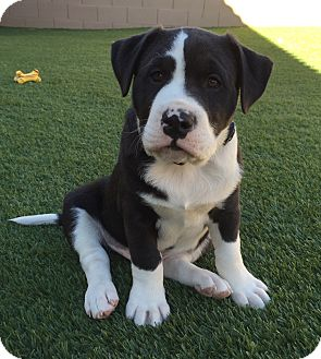 Shepherd (Unknown Type)/Labrador Retriever Mix Puppy for adoption in Las Vegas, Nevada - Morrison