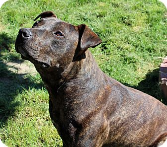 Catahoula Leopard Dog/Staffordshire Bull Terrier Mix Dog for adoption in Lodi, California - Petey