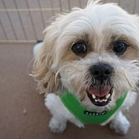 Lhasa Apso Mix Dog for adoption in Houston, Texas - Eric Harris