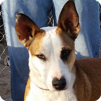 Australian Cattle Dog/American Bulldog Mix Dog for adoption in Greeley, Colorado - Ruby