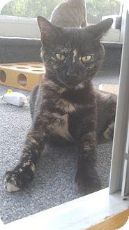 Domestic Shorthair Kitten for adoption in Haddon Twp., New Jersey - Hestia