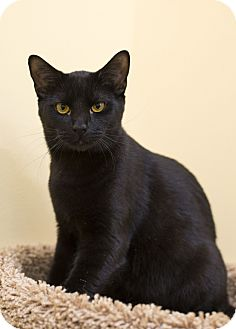 Domestic Shorthair Kitten for adoption in Charlotte, North Carolina - A..  Odeffe