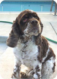 Welsh Springer Spaniel/English Springer Spaniel Mix Dog for adoption in Corona, California - Charles, Welch SpringerSpaniel