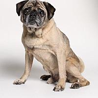 Pug Dog for adoption in Gardena, California - Cornelius