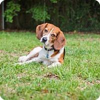 Adopt A Pet :: Goose - Tampa, FL