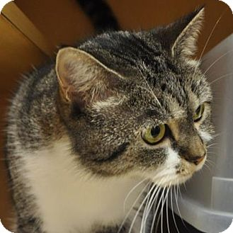 Domestic Shorthair Cat for adoption in Kettering, Ohio - Daisy