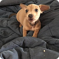 Chihuahua/Dachshund Mix Puppy for adoption in Raleigh, North Carolina - Reese