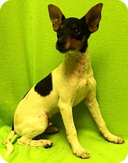 Rat Terrier Puppy for adoption in Columbus, Nebraska - Bailey