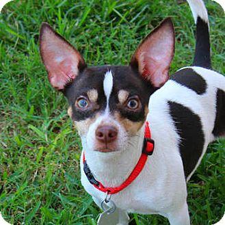 Chihuahua Mix Dog for adoption in Shreveport, Louisiana - Gumbo