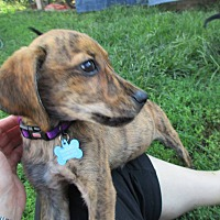 Adopt A Pet :: Ginger - Baltimore, MD