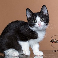 Adopt A Pet :: Maleficent - Houston, TX