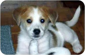 Blue Heeler/Beagle Mix Puppy for adoption in Upper Marlboro, Maryland - RON