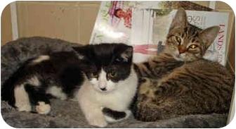 Domestic Shorthair Kitten for adoption in Colmar, Pennsylvania - Teddy Bear