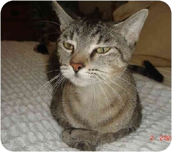 Abyssinian Cat for adoption in Houston, Texas - Mama Summer