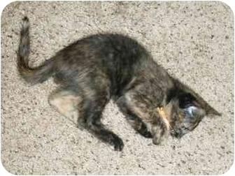 Domestic Shorthair Kitten for adoption in Modesto, California - PoppySeed
