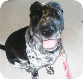 Blue Heeler Mix Puppy for adoption in San Clemente, California - SMOKEY