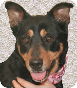 Rottweiler/German Shepherd Dog Mix Dog for adoption in Cincinnati, Ohio - Listy